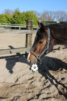 EquiCarePlus Floris, School example of Left Brain Extrovert Horse ready to play soccer!